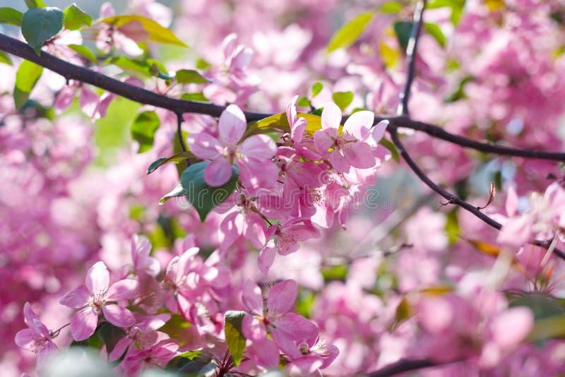 De roze bloesems van de sakuraboom bij de lente bij zonlicht Sakura, de lente, aard stock foto's