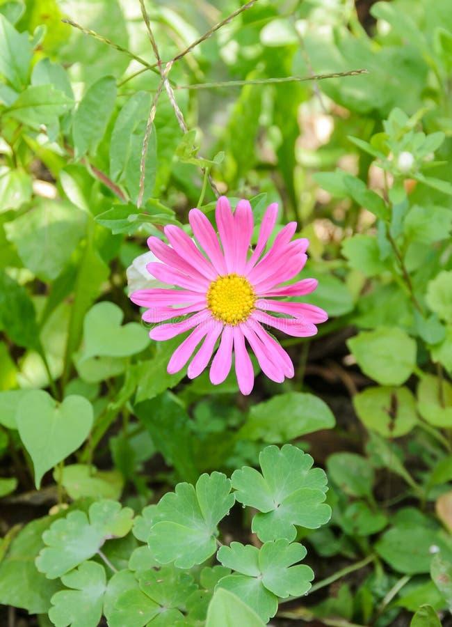 De roze Chrysantenbloem, mums of chrysanths, soort Chrysant in de familie Asteraceae, groen gebied, sluit omhoog royalty-vrije stock afbeeldingen