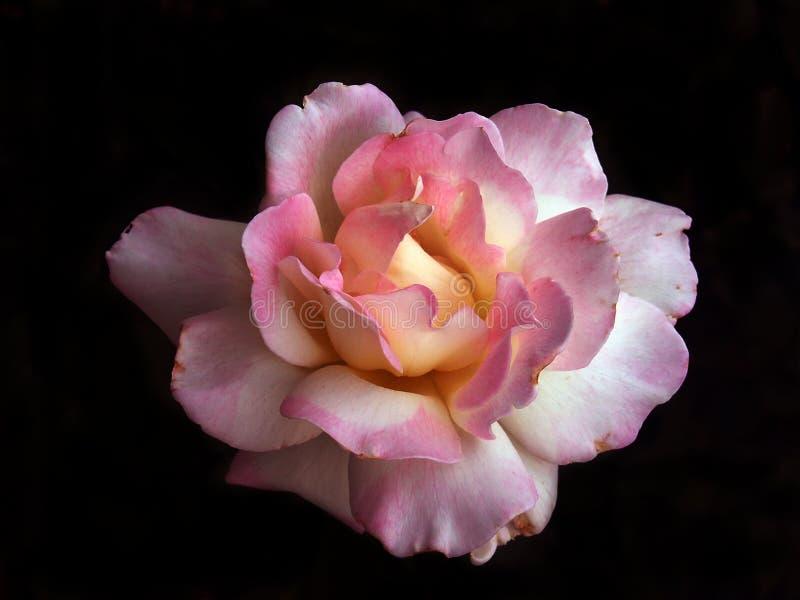 De roze close-up van de Pioen royalty-vrije stock afbeelding