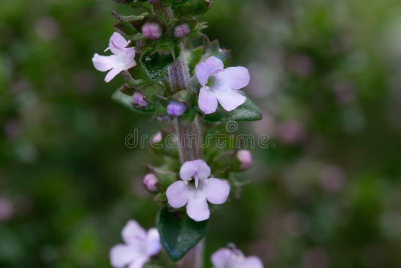 De roze Close-up van de Oregobloesem stock afbeeldingen