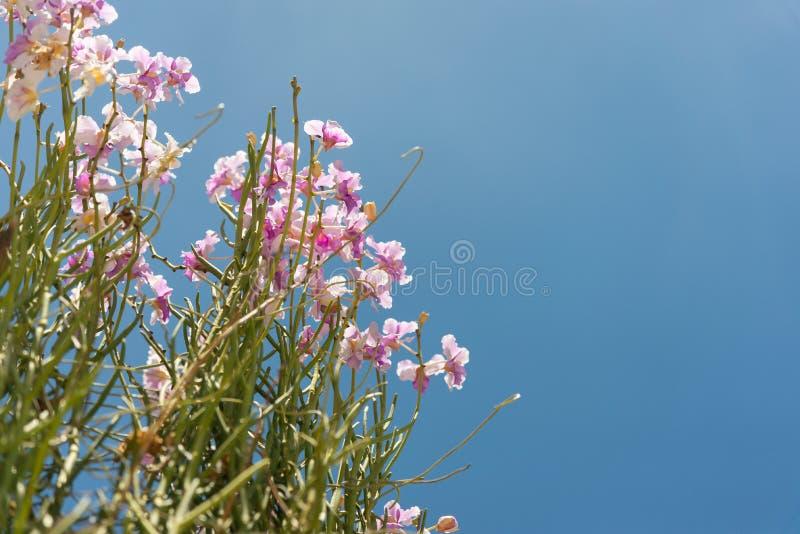 De roze Dendrobium-orchideeën zijn prachtig bloeiend in de tuin stock afbeeldingen
