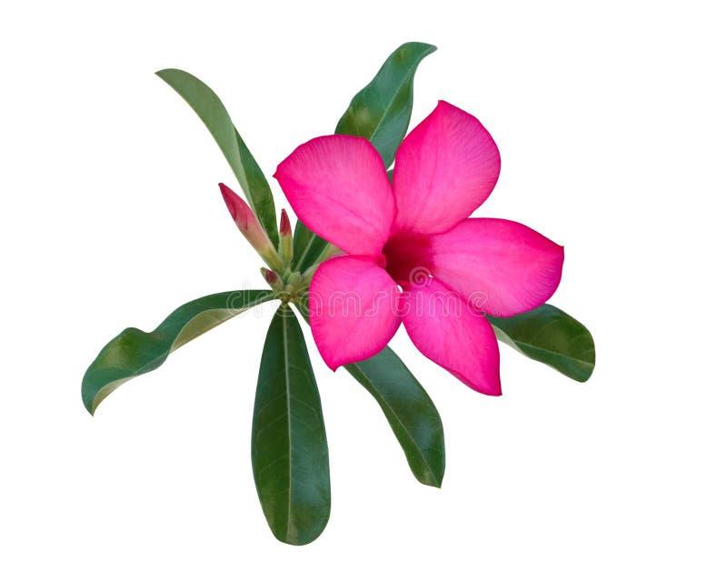 De roze die Woestijn nam bloem Adenium toe, Azalea op witte achtergrond, weg wordt geïsoleerd stock afbeelding
