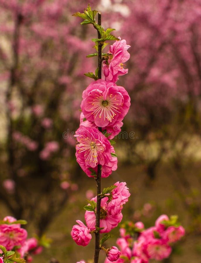 De Roze Elegantie stock foto's