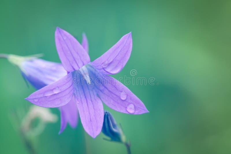 De roze en blauwe bloem bellflower macro, sluit omhoog Bloeiende bellflower bloemen in weide met zacht kleureneffect en stock afbeeldingen