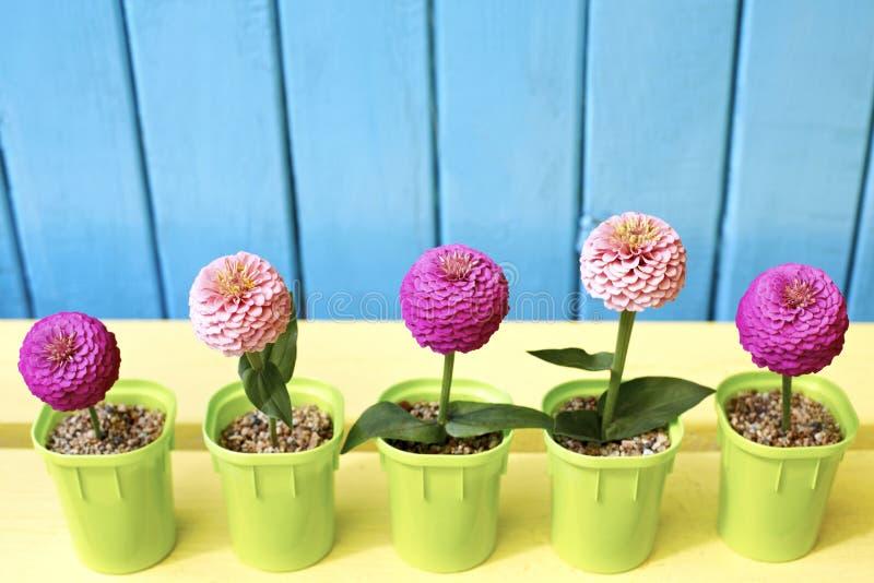 De roze en fuchsiakleurig bloemen van Zinnia in potten op azuurblauwe en houten achtergrond royalty-vrije stock foto's