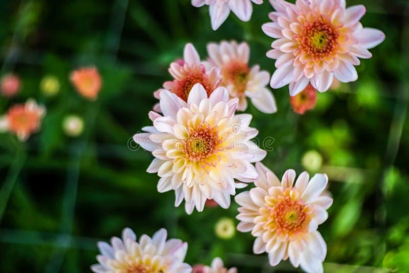 De roze en gele Chrysant stock fotografie