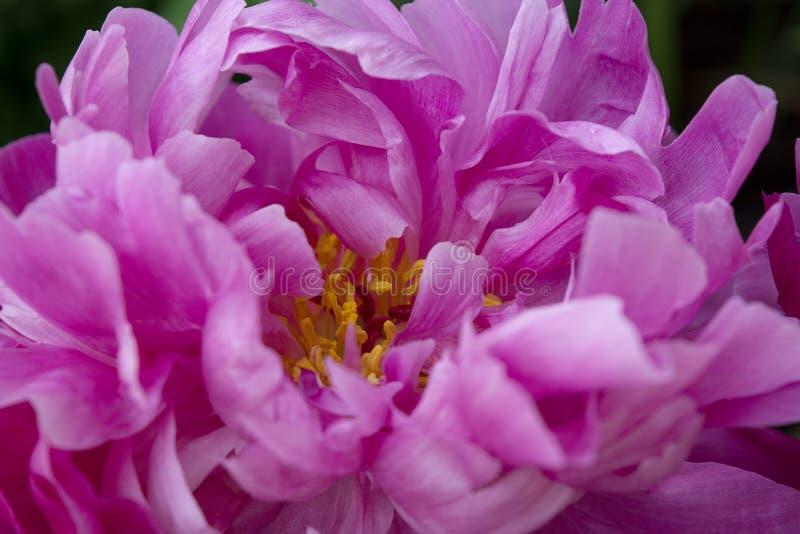 De roze en Gevouwen Bloemblaadjes van een Pioenbloem leiden tot een Abstract Patroon van Ingewikkeldheid en Schoonheid royalty-vrije stock foto