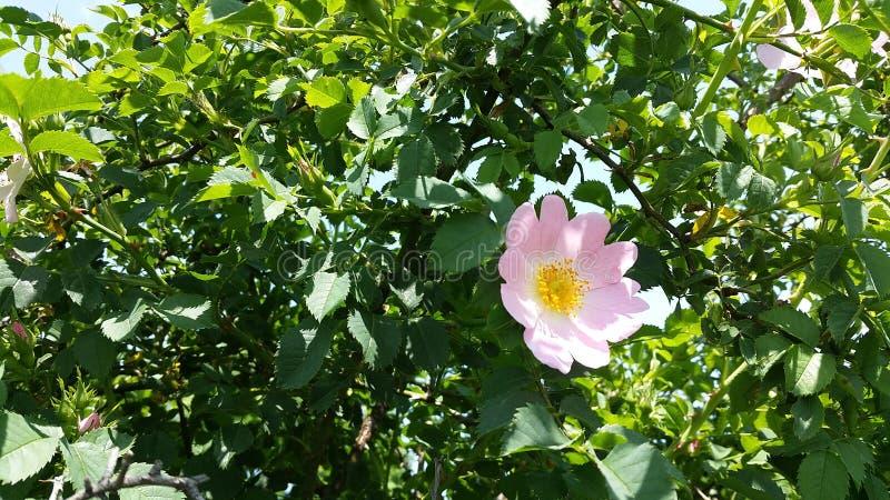 De roze en groene wilde bloem van Nice royalty-vrije stock afbeelding