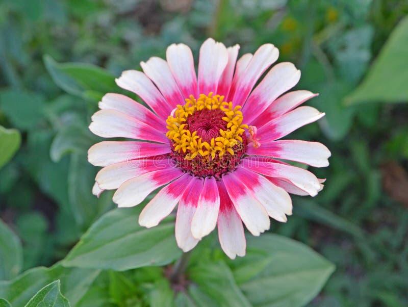 De roze en witte bloem van Zinnia stock afbeelding