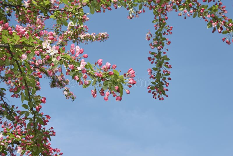 De roze en witte bloesem van Malusfloribunda stock fotografie