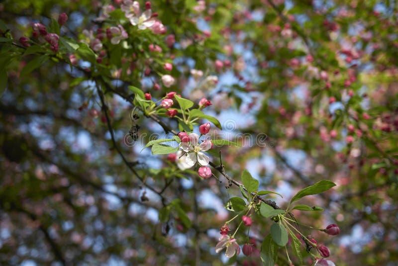 De roze en witte bloesem van Malusfloribunda stock afbeeldingen