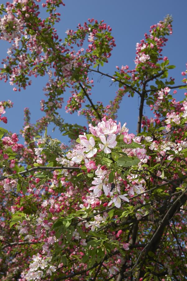 De roze en witte bloesem van Malusfloribunda stock foto's