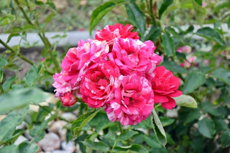 De roze Foto van Rozenrose home gardening planting stock royalty-vrije stock afbeelding