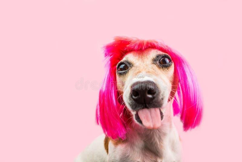 De roze grappige kleuren intimideren hond in pruik die tong tonen stock foto