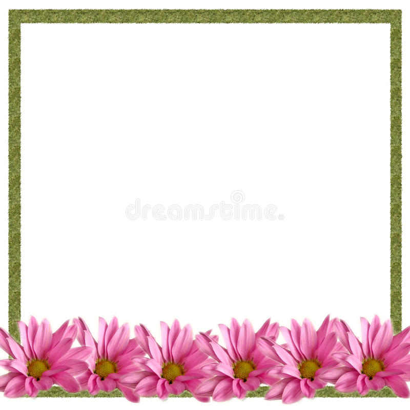 De roze Grens van Madeliefjes op Wit stock foto