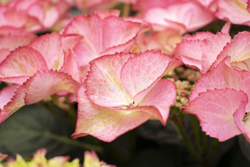 De roze hydrangea hortensia's sluiten omhoog bij de markt van de straatbloem stock afbeelding