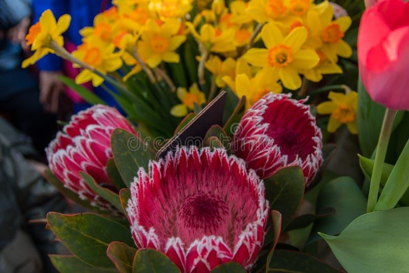 De roze installatie van koningsprotea De roze bloeiende installatie die van koningsprotea in de lente bloeit stock afbeelding
