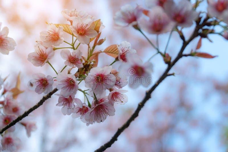 De roze kers komt op de sakuraboom tot bloei in de winter op zonsopgang voor achtergrond Seletive brandpunts royalty-vrije stock fotografie