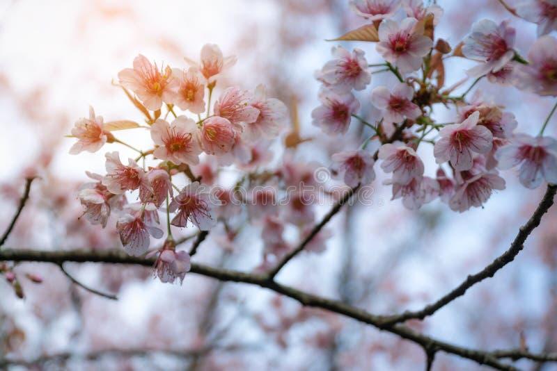 De roze kers komt op de sakuraboom tot bloei in de winter op zonsopgang voor achtergrond Seletive brandpunts stock foto