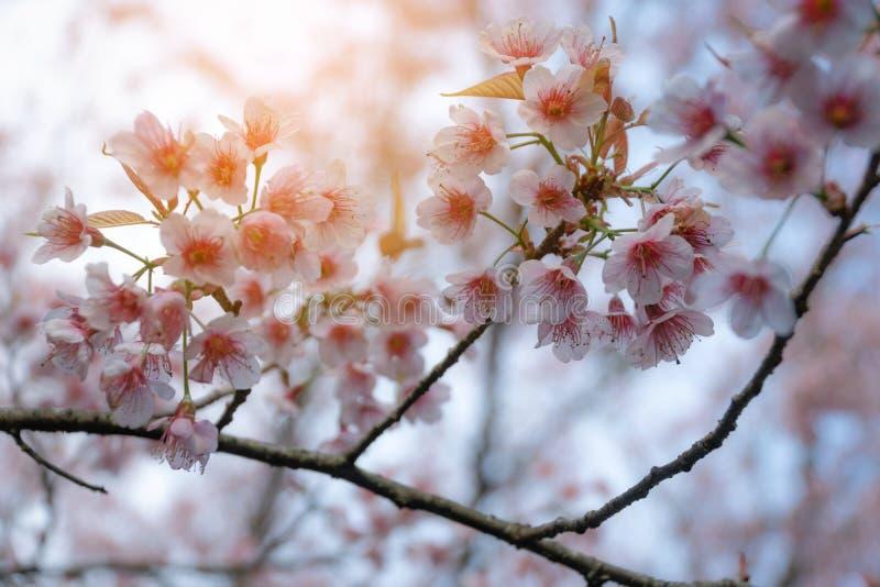 De roze kers komt op de sakuraboom tot bloei in de winter op zonsopgang voor achtergrond Seletive brandpunts stock foto's