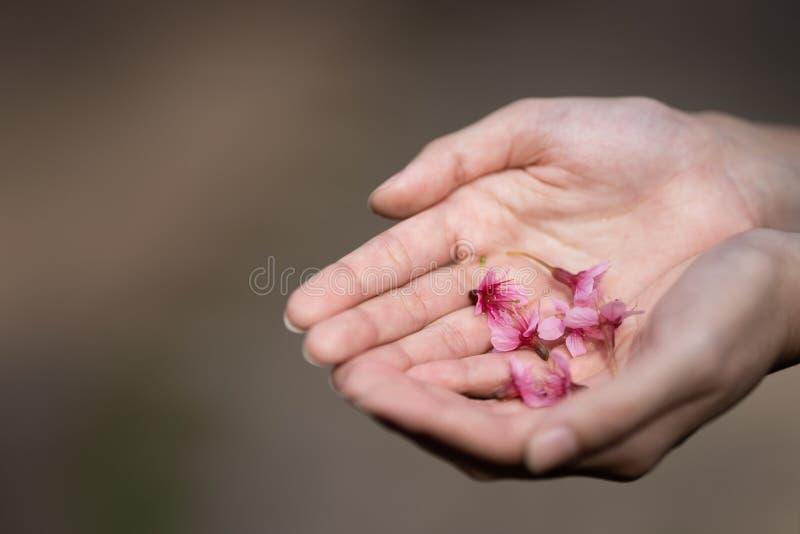 De roze Kersenbloesem bloeit Thaise Sakura in vrouwenhand royalty-vrije stock fotografie