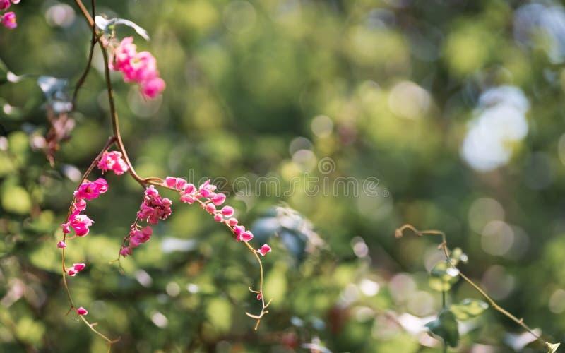 De roze kleine bloemen in groene aard tuinieren met groene bokeh voor behang of achtergrond Bloemen van Antigonon-leptopus, algem royalty-vrije stock afbeelding