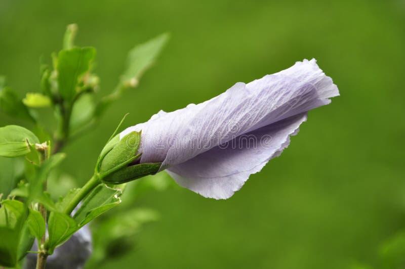 De roze knop van de Bloem van de Hibiscus royalty-vrije stock foto's