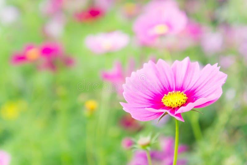 De roze kosmos bloeit in het park, bloemen in de tuin, pastelkleur stock afbeelding