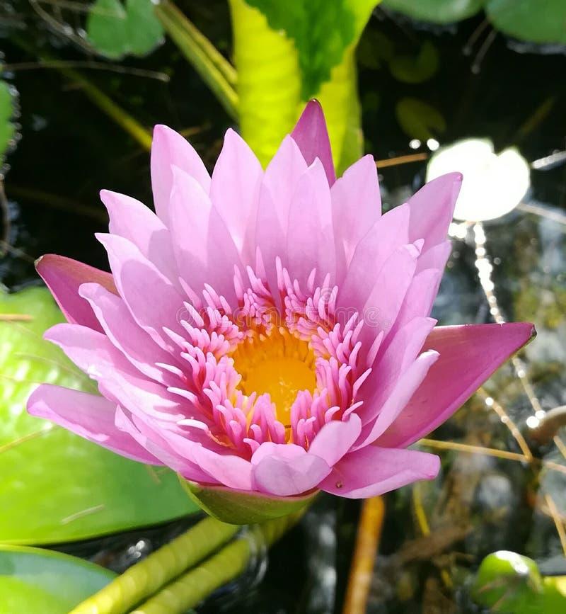 De roze lotusbloem is bloeiend stock fotografie