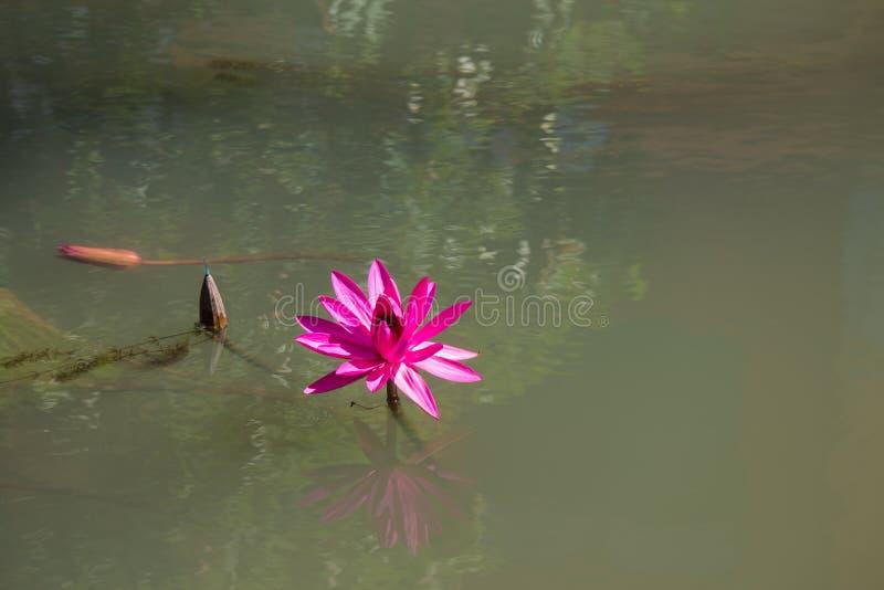 De roze lotusbloem met refection stock afbeelding