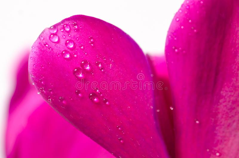 De roze macro van de bloemcyclaam stock afbeeldingen