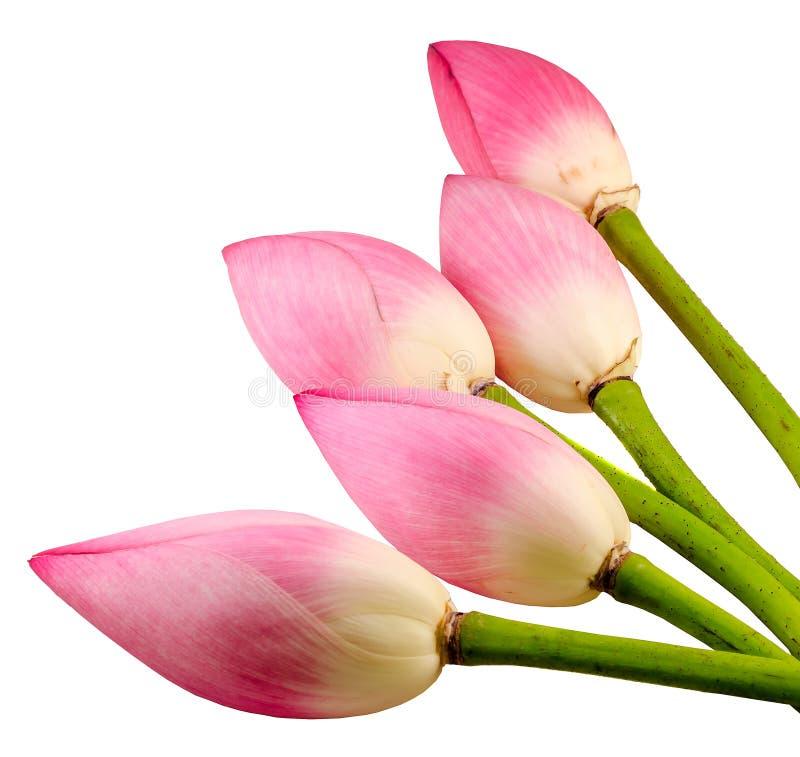 De roze Nelumbo-nuciferabloemen, sluiten omhoog, geïsoleerd royalty-vrije stock foto