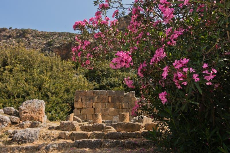 De roze oleander bloeit bij de archeologische plaatsen van Lisson, zuidwestenkust van het eiland van Kreta royalty-vrije stock foto's