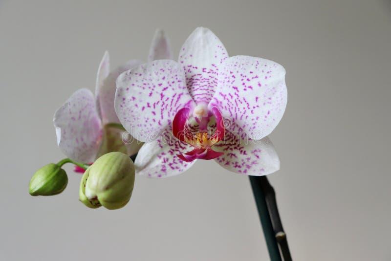 De roze orchidee met knoppen royalty-vrije stock fotografie