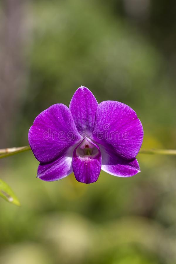 De roze orchideebloemen, sluiten omhoog stock afbeeldingen