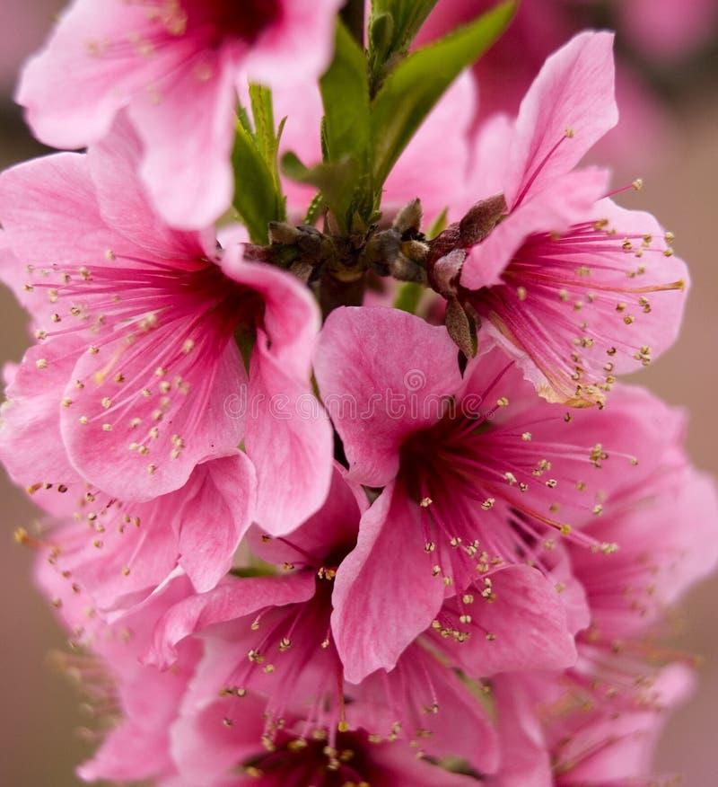 De roze Perzik komt dicht omhoog tot bloei Sichuan China stock foto's