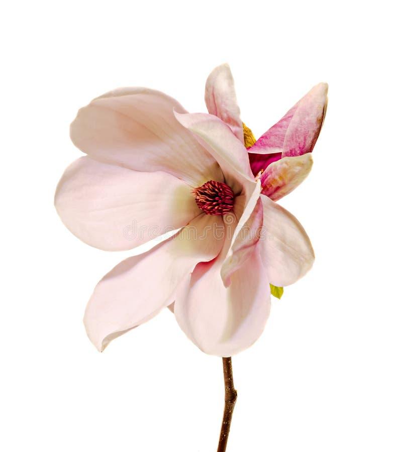 De roze, purpere bloem van de magnoliatak, sluit omhoog, witte achtergrond stock foto's