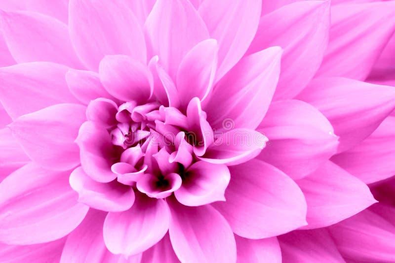 De roze purpere macrofoto van de dahliabloem Kleurenbeeld die roze schaduwen en roodachtige schaduwen benadrukken stock afbeelding