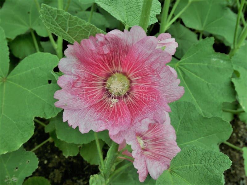 De roze roseabloem van Althaea van Stokrozenflowersor komt op een de zomerdag tot bloei in de tuin stock illustratie