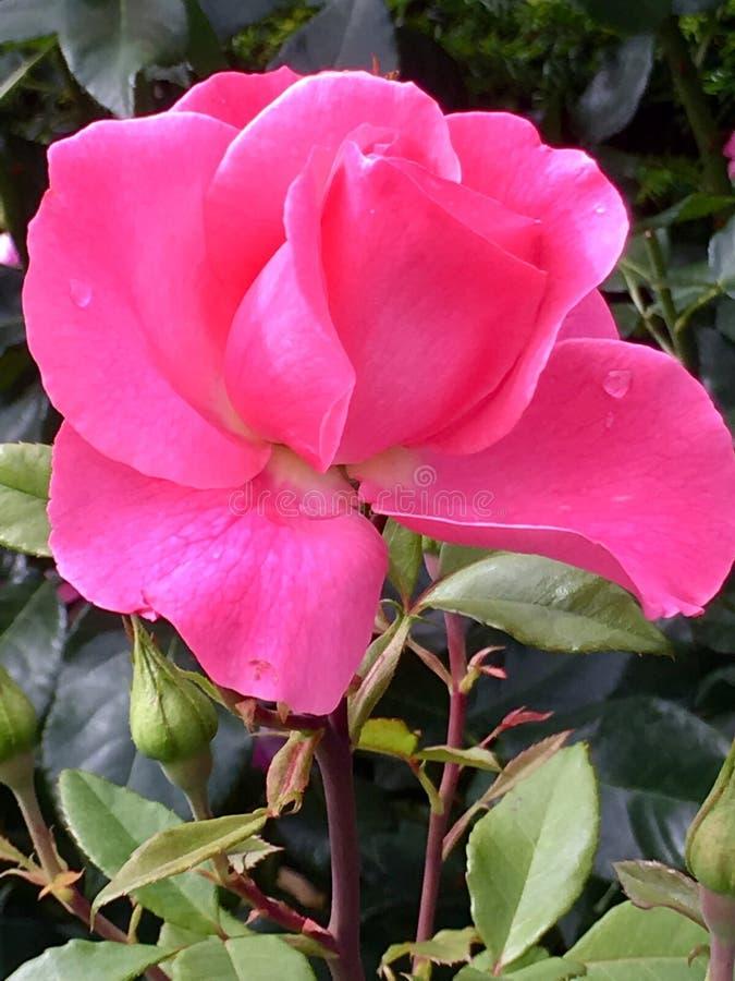 De roze rozen sluiten omhoog stock afbeelding