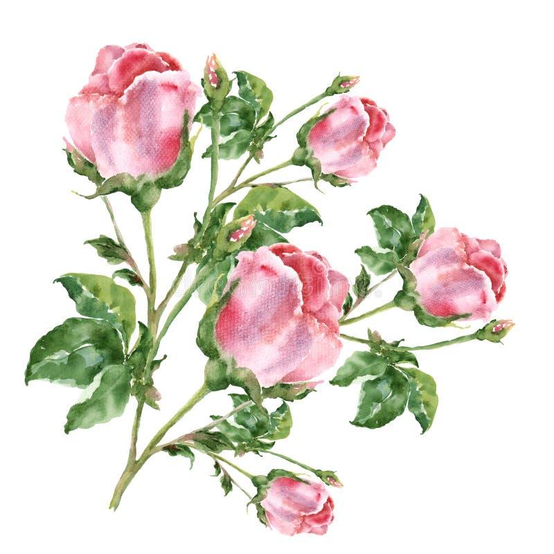 De roze rozen van het waterverfboeket Illustratie op een witte achtergrond vector illustratie
