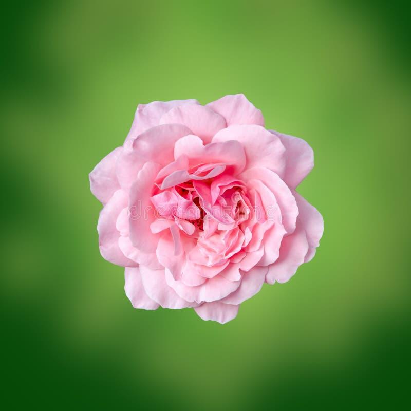 De roze rozenbloem met de groene achtergrond van de degradeetextuur, kader, sluit omhoog royalty-vrije stock afbeelding