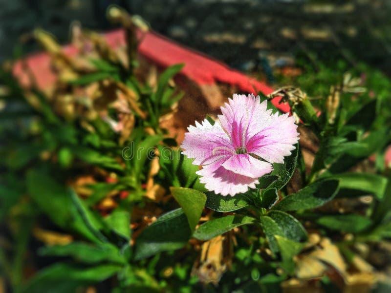 De roze schoonheid royalty-vrije stock foto's