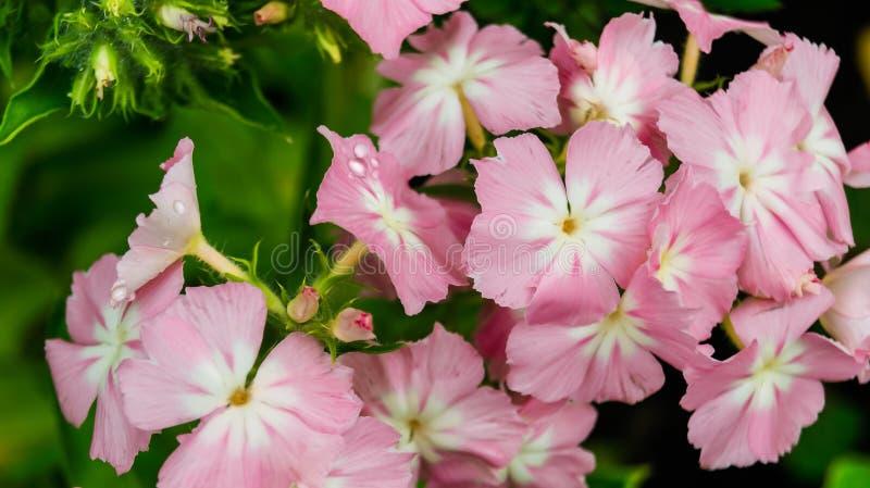 De roze tedere jaarlijkse bloem van floxdrummondii royalty-vrije stock foto