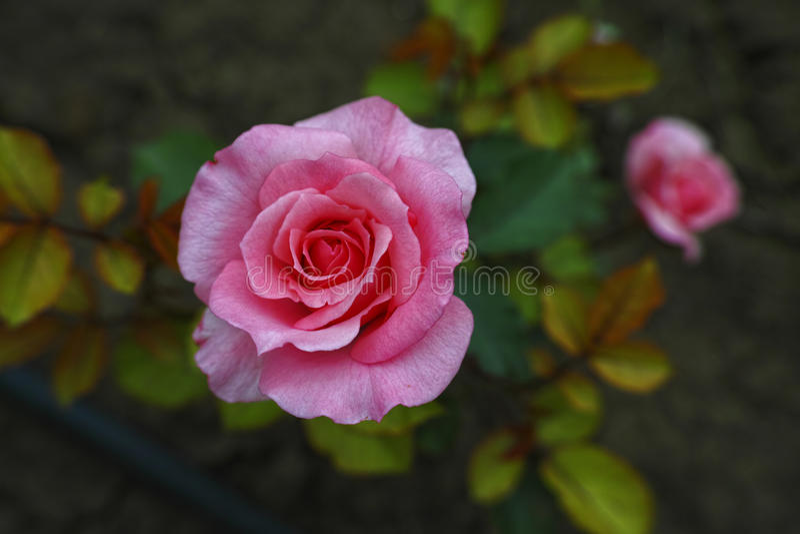De roze tuin nam van Bulgarije toe royalty-vrije stock foto