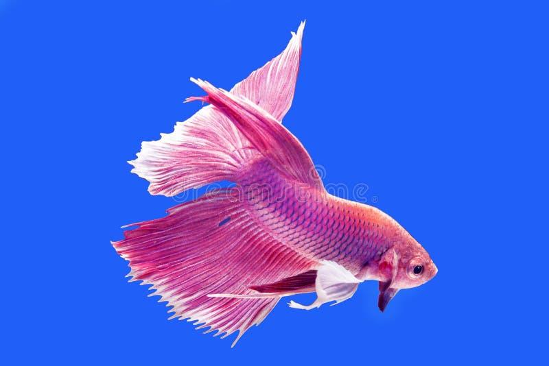 De roze vissen van Dampo Betta, vangen het bewegende ogenblik van siamese figh royalty-vrije stock afbeeldingen