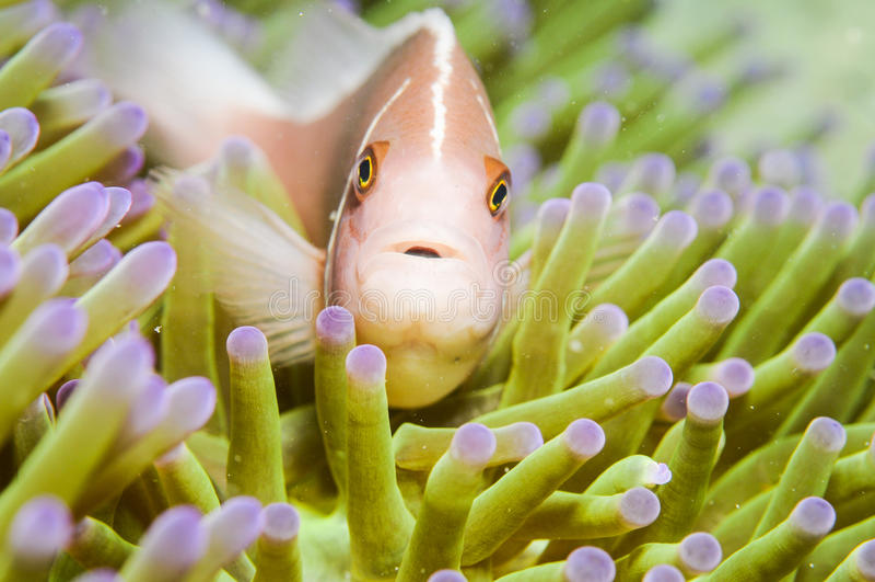 De roze Vissen van de Anemoon royalty-vrije stock afbeelding
