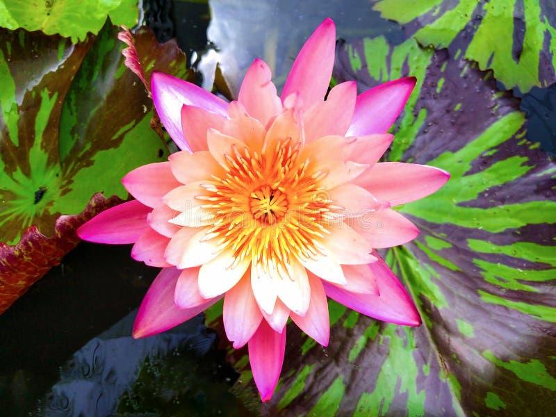De roze vlotter van de lotusbloembloem op het bassin royalty-vrije stock afbeelding