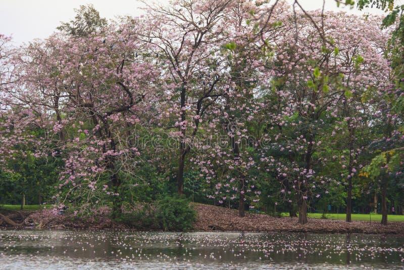 De roze volledige bloesem van bloementabebuia Rosea Chompoo Pantip bij Rodfai-Park, Bangkok stock foto's
