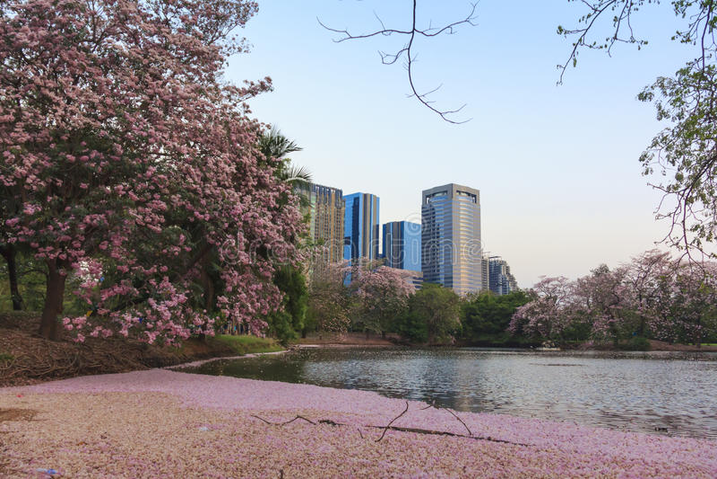 De roze volledige bloesem van bloementabebuia Rosea Chompoo Pantip bij Rodfai-Park, Bangkok stock foto